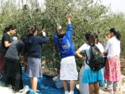 youth-picking-olives-vb