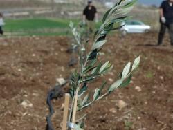 olive sapling planted