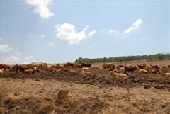 Cattle grazing in the Lower Galilee