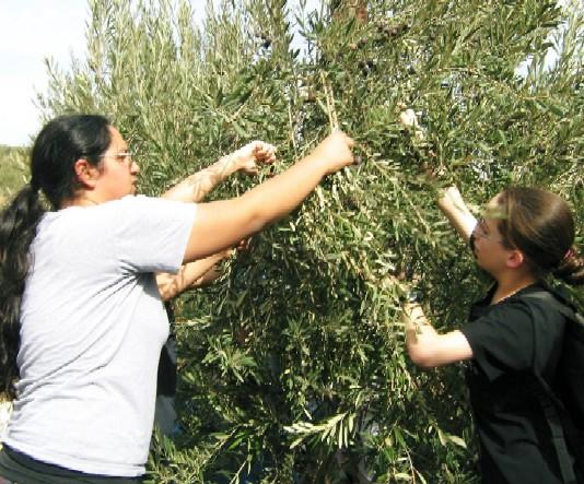 Volunteer picking olives