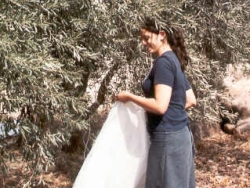 Volunteer picking olives