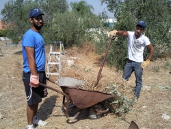 Volunteers carting away freshly picked olives