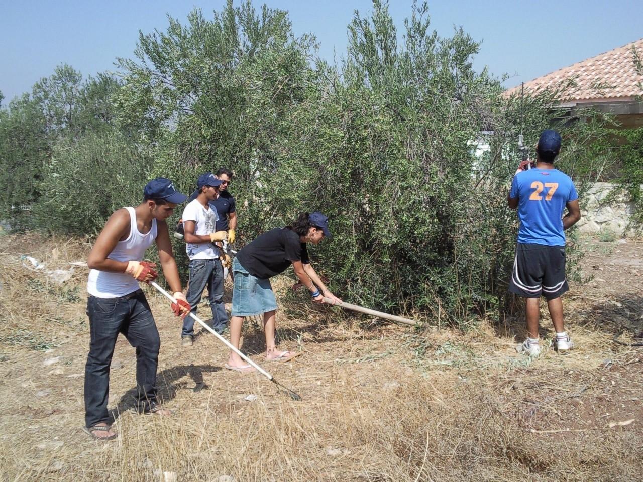 Volunteers picking olives