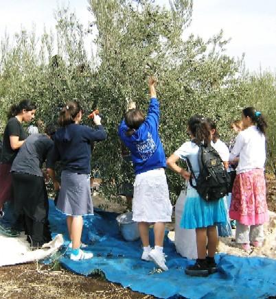 youth-picking-olives-vb