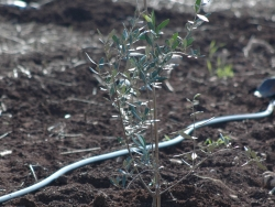 olive sapling planted