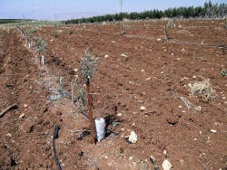 recently planted olive grove